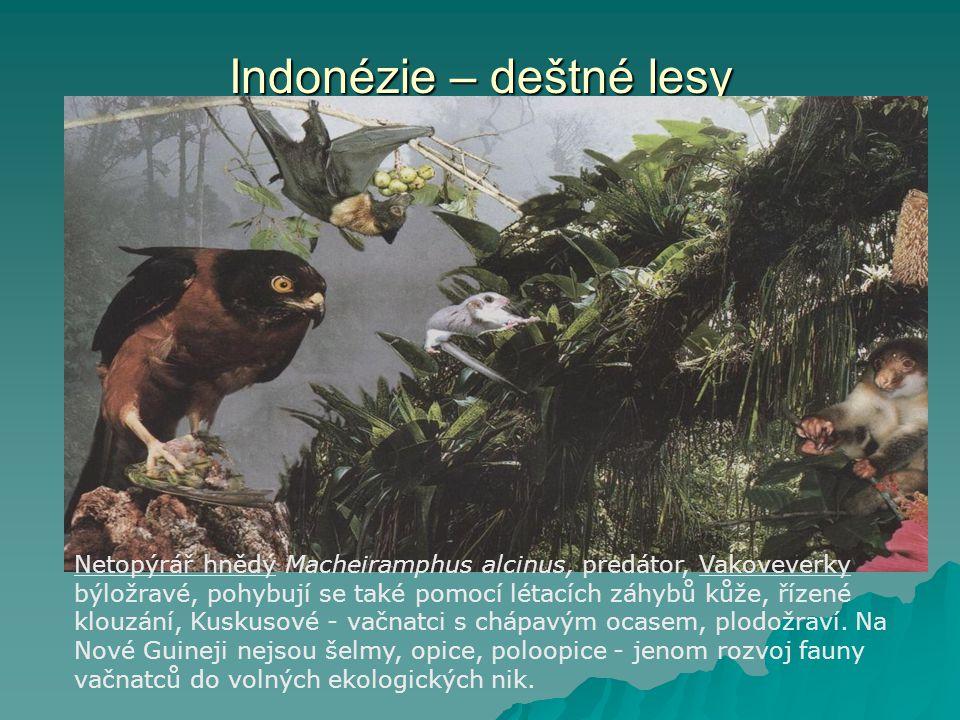 Indonézie – deštné lesy Netopýrář hnědý Macheiramphus alcinus, predátor, Vakoveverky býložravé, pohybují se také pomocí létacích záhybů kůže, řízené k