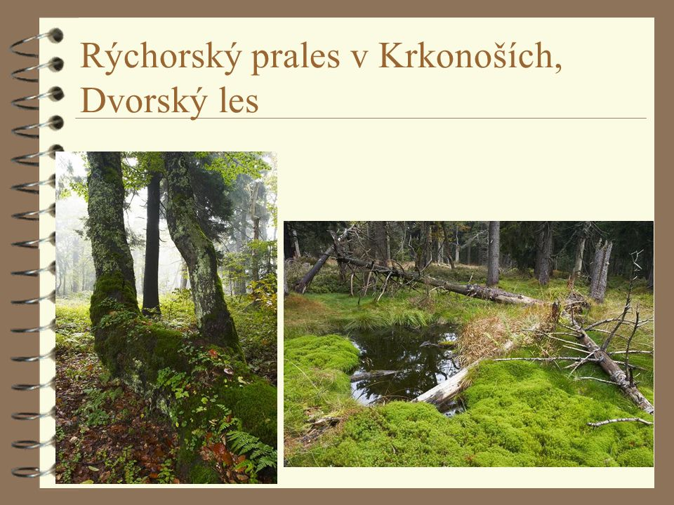 Rýchorský prales v Krkonoších, Dvorský les