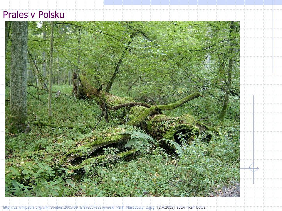 Prales v Polsku http://cs.wikipedia.org/wiki/Soubor:2005-09_Bia%C5%82owieski_Park_Narodowy_2.jpghttp://cs.wikipedia.org/wiki/Soubor:2005-09_Bia%C5%82o