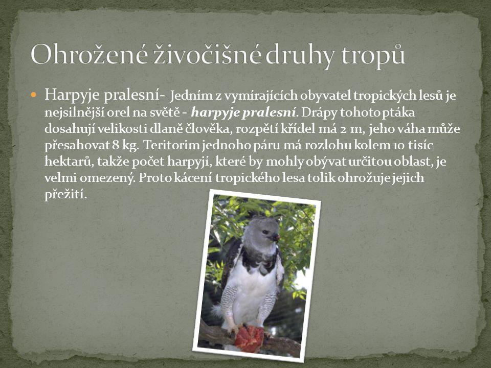Harpyje pralesní- Jedním z vymírajících obyvatel tropických lesů je nejsilnější orel na světě - harpyje pralesní. Drápy tohoto ptáka dosahují velikost