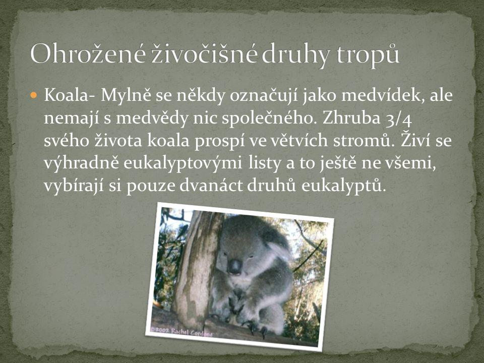 Koala- Mylně se někdy označují jako medvídek, ale nemají s medvědy nic společného. Zhruba 3/4 svého života koala prospí ve větvích stromů. Živí se výh