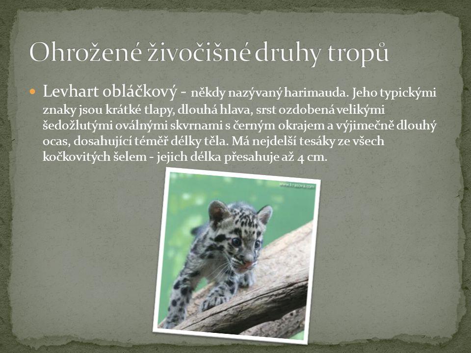Levhart obláčkový - někdy nazývaný harimauda. Jeho typickými znaky jsou krátké tlapy, dlouhá hlava, srst ozdobená velikými šedožlutými oválnými skvrna
