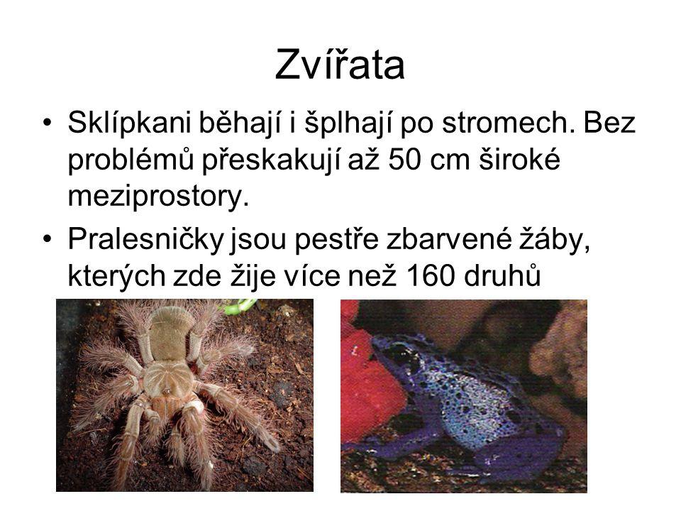Zvířata Sklípkani běhají i šplhají po stromech. Bez problémů přeskakují až 50 cm široké meziprostory. Pralesničky jsou pestře zbarvené žáby, kterých z