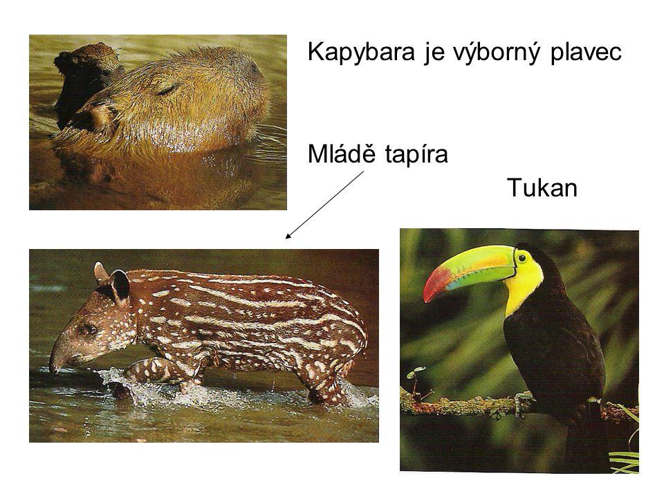 Kapybara je výborný plavec Mládě tapíra Tukan