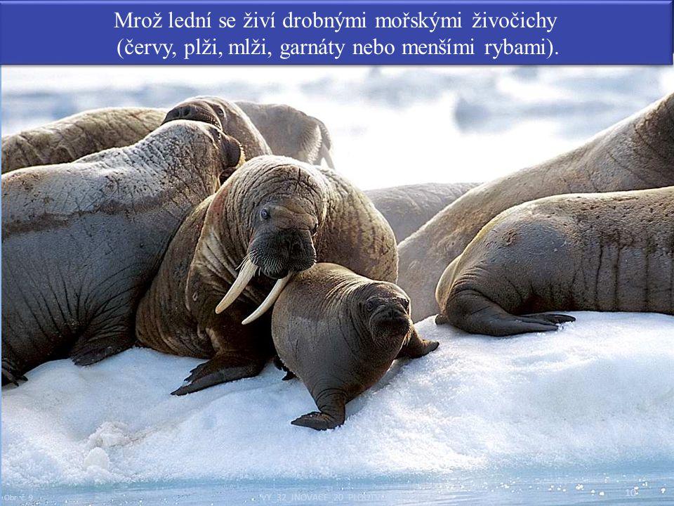 10 Mrož lední se živí drobnými mořskými živočichy (červy, plži, mlži, garnáty nebo menšími rybami). Mrož lední se živí drobnými mořskými živočichy (če