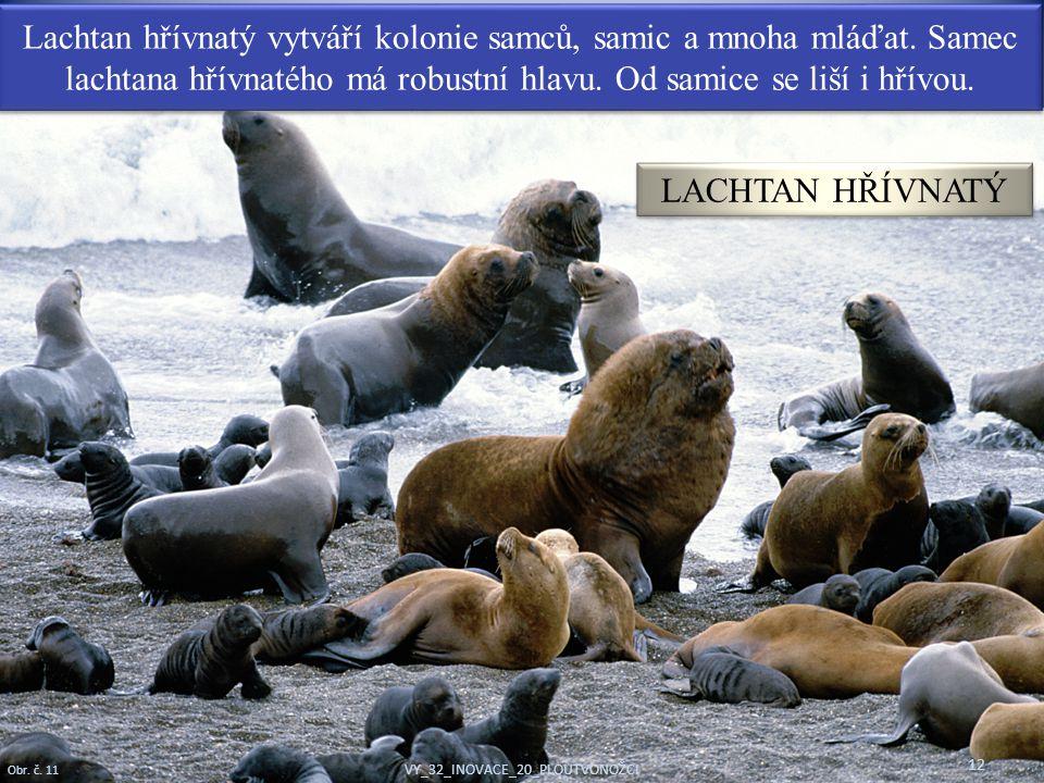 Lachtan hřívnatý vytváří kolonie samců, samic a mnoha mláďat. Samec lachtana hřívnatého má robustní hlavu. Od samice se liší i hřívou. 12 Obr. č. 11 V