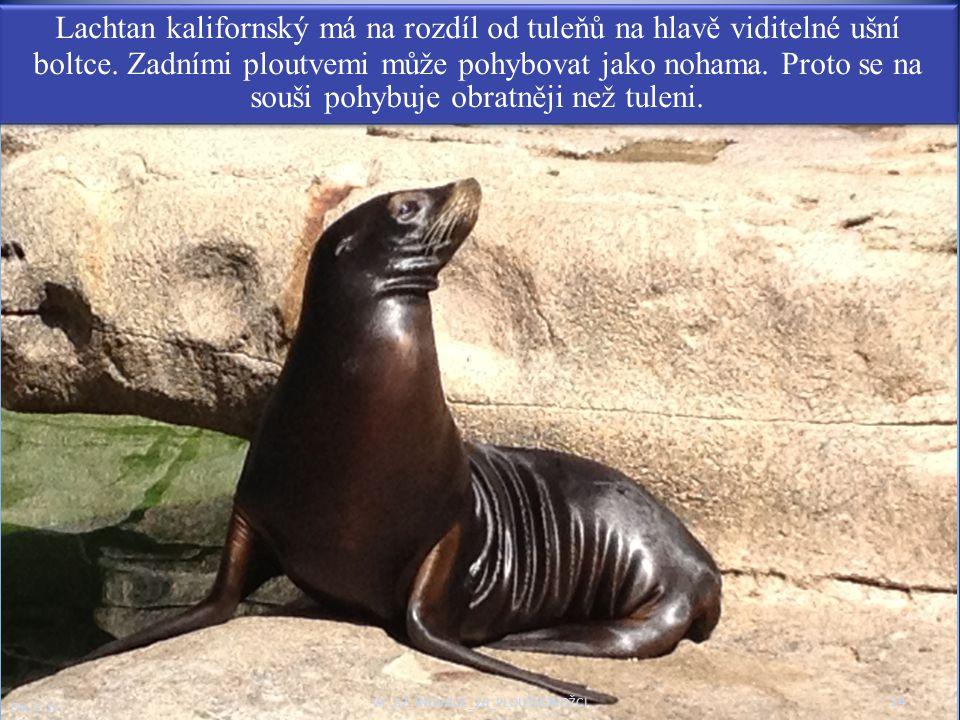14 Obr. č. 13 VY_32_INOVACE_20_PLOUTVONOŽCI Lachtan kalifornský má na rozdíl od tuleňů na hlavě viditelné ušní boltce. Zadními ploutvemi může pohybova