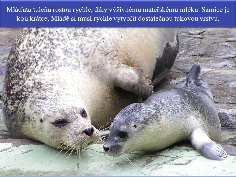 Mláďata tuleňů rostou rychle, díky výživnému mateřskému mléku. Samice je kojí krátce. Mládě si musí rychle vytvořit dostatečnou tukovou vrstvu. 5 Obr.