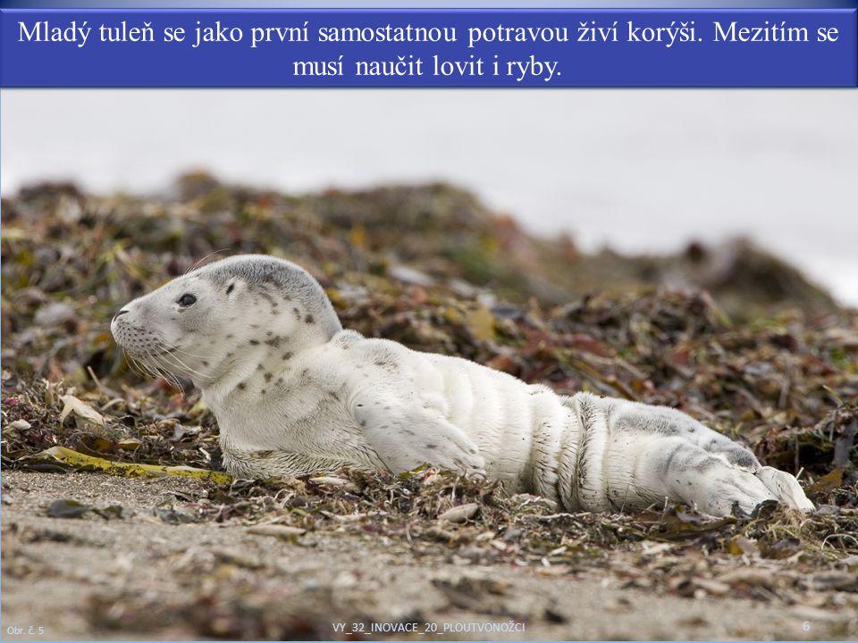 Mladý tuleň se jako první samostatnou potravou živí korýši. Mezitím se musí naučit lovit i ryby. 6 Obr. č. 5 VY_32_INOVACE_20_PLOUTVONOŽCI