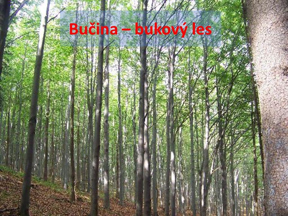 Bučina – bukový les