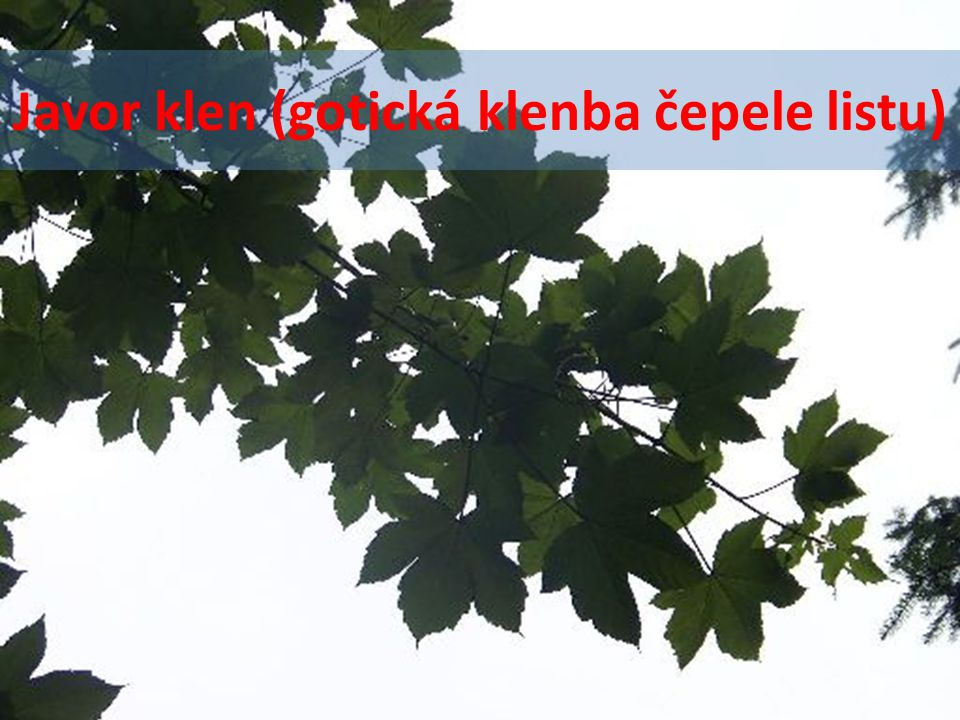 Javor klen (gotická klenba čepele listu)