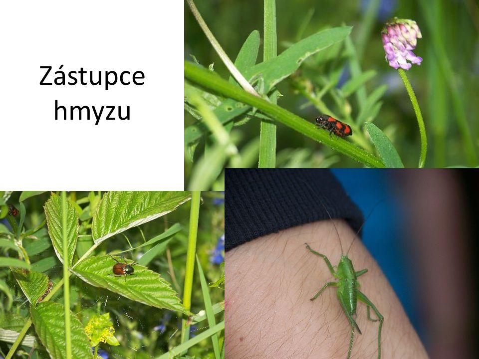 Zástupce hmyzu