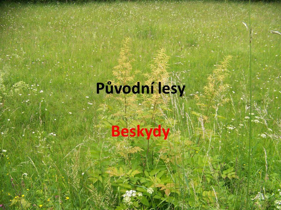 Původní lesy Beskydy