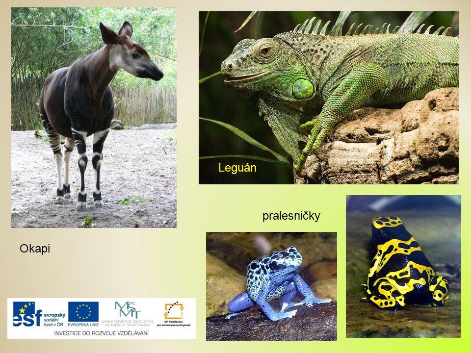Okapi Leguán pralesničky