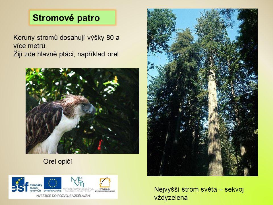 Stromové patro Koruny stromů dosahují výšky 80 a více metrů. Žijí zde hlavně ptáci, například orel. Orel opičí Nejvyšší strom světa – sekvoj vždyzelen
