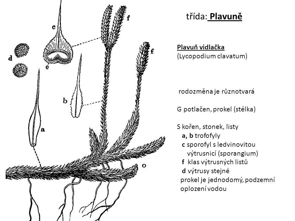 třída: Plavuně Plavuň vidlačka (Lycopodium clavatum) rodozměna je různotvará G potlačen, prokel (stélka) S kořen, stonek, listy a, b trofofyly c sporo