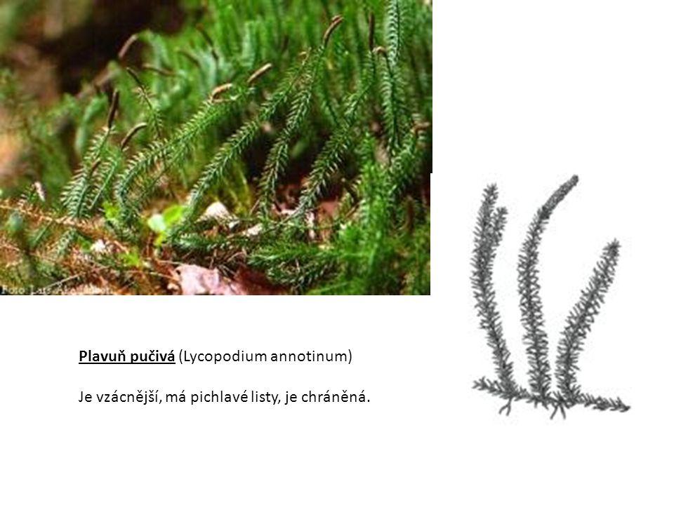 Plavuň pučivá (Lycopodium annotinum) Je vzácnější, má pichlavé listy, je chráněná.