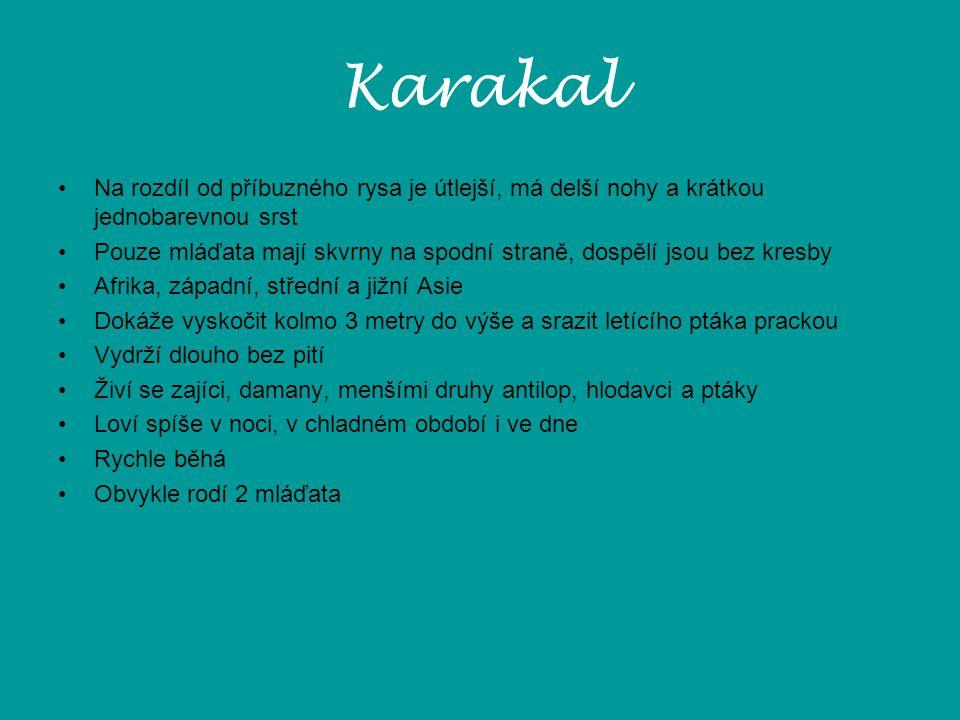 Karakal Na rozdíl od příbuzného rysa je útlejší, má delší nohy a krátkou jednobarevnou srst Pouze mláďata mají skvrny na spodní straně, dospělí jsou b