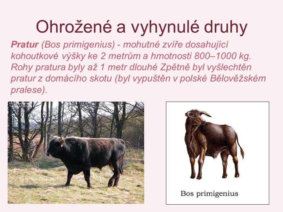 Ohrožené a vyhynulé druhy Pratur (Bos primigenius) - mohutné zvíře dosahující kohoutkové výšky ke 2 metrům a hmotnosti 800–1000 kg. Rohy pratura byly
