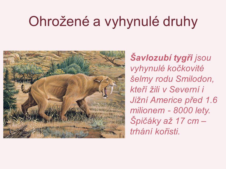 Ohrožené a vyhynulé druhy Šavlozubí tygři jsou vyhynulé kočkovité šelmy rodu Smilodon, kteří žili v Severní i Jižní Americe před 1.6 milionem - 8000 lety.