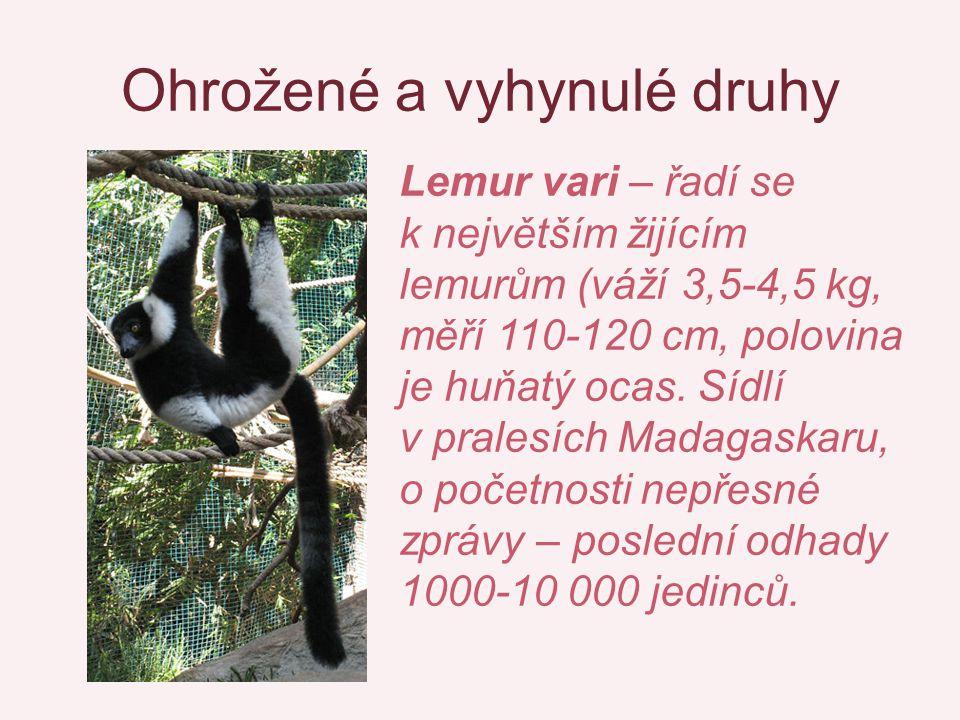 Ohrožené a vyhynulé druhy Lemur vari – řadí se k největším žijícím lemurům (váží 3,5-4,5 kg, měří 110-120 cm, polovina je huňatý ocas. Sídlí v pralesí
