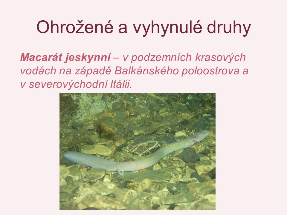 Ohrožené a vyhynulé druhy Macarát jeskynní – v podzemních krasových vodách na západě Balkánského poloostrova a v severovýchodní Itálii.