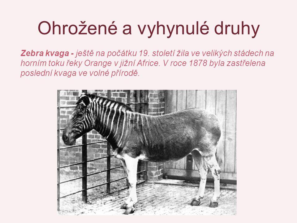 Ohrožené a vyhynulé druhy Zebra kvaga - ještě na počátku 19. století žila ve velikých stádech na horním toku řeky Orange v jižní Africe. V roce 1878 b