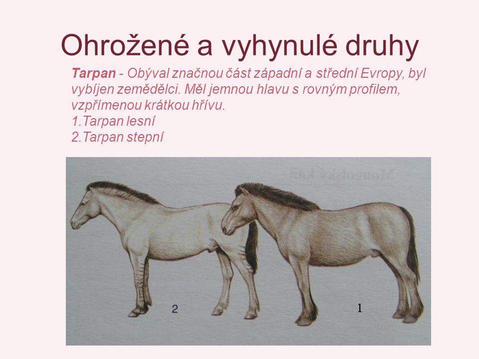 Ohrožené a vyhynulé druhy Tarpan - Obýval značnou část západní a střední Evropy, byl vybíjen zemědělci. Měl jemnou hlavu s rovným profilem, vzpřímenou