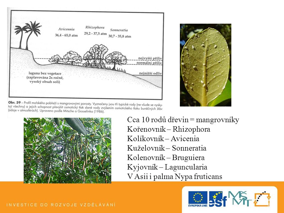 Cca 10 rodů dřevin = mangrovníky Kořenovník – Rhizophora Kolíkovník – Avicenia Kuželovník – Sonneratia Kolenovník – Bruguiera Kyjovník – Laguncularia