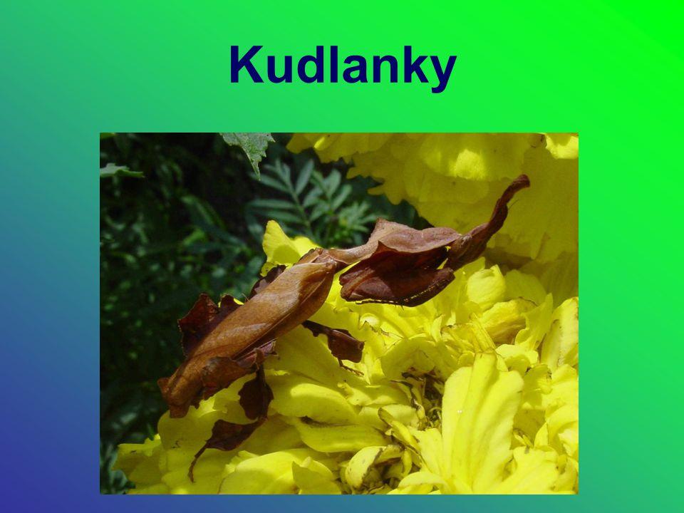Systematické zařazení Říše: Živočichové (Animalia) podříše: Mnohobuněční (Metazoa) odd.: Triblastika řada: Prvoústí (Protostomia) Kmen: Členovci (Arthropoda) Podkmen: Vzdušnicovci (Tracheata) Třída: Hmyz (Insecta) Podtřída: Křídlatí (Pterygota) Řád: Kudlanky (Mantodea) Čeleď: kudlankovití (Mantidae) Rod: asi 400, např.