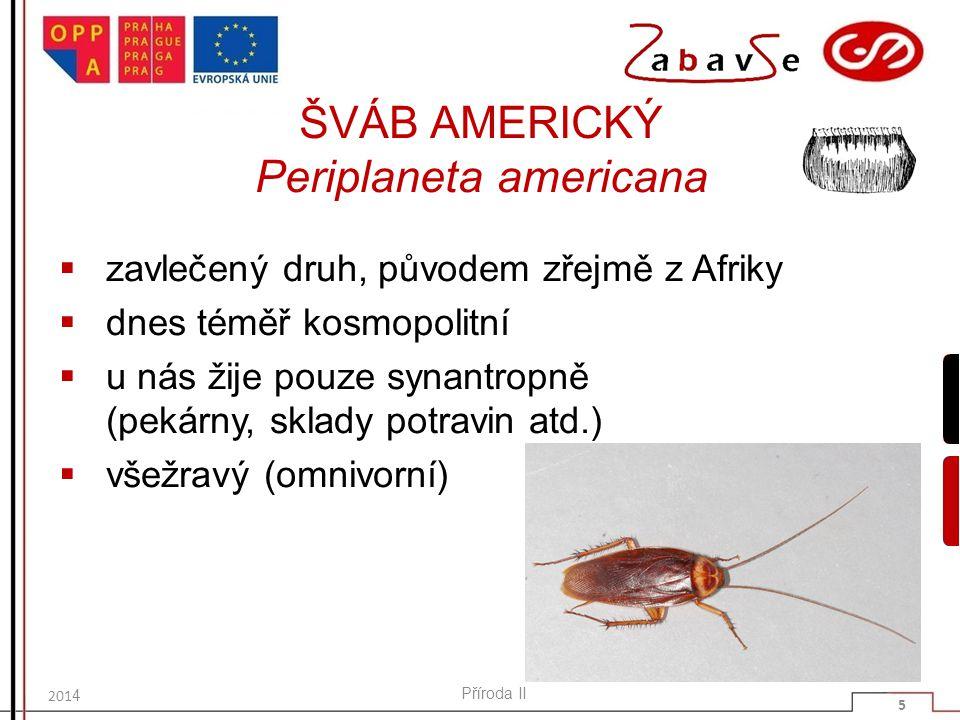ŠVÁB AMERICKÝ Periplaneta americana  zavlečený druh, původem zřejmě z Afriky  dnes téměř kosmopolitní  u nás žije pouze synantropně (pekárny, sklad