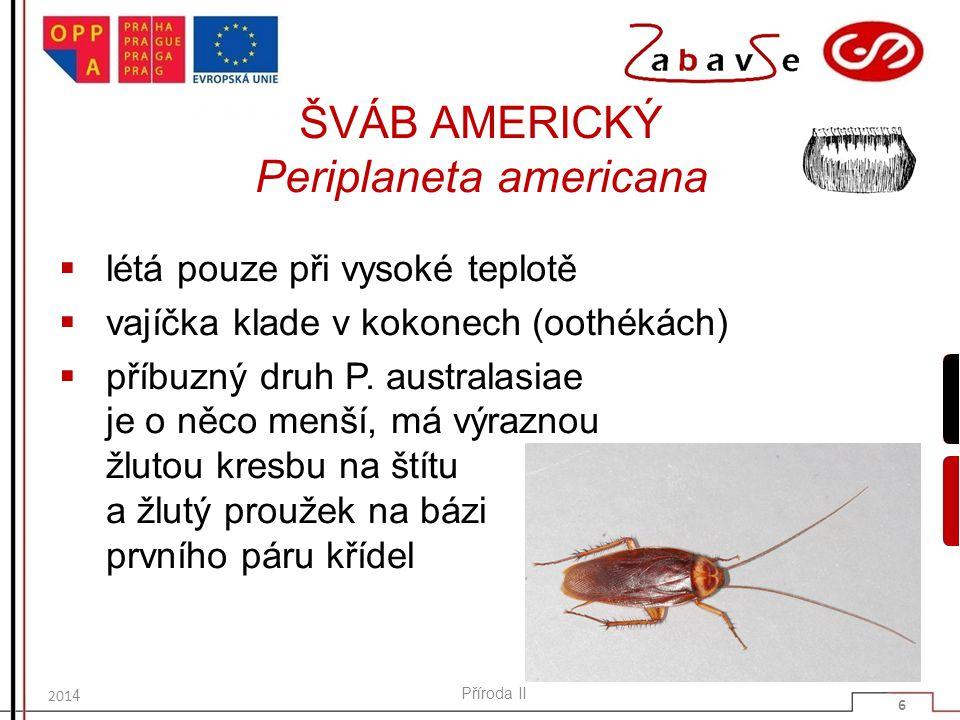 ŠVÁB AMERICKÝ Periplaneta americana  létá pouze při vysoké teplotě  vajíčka klade v kokonech (oothékách)  příbuzný druh P. australasiae je o něco m