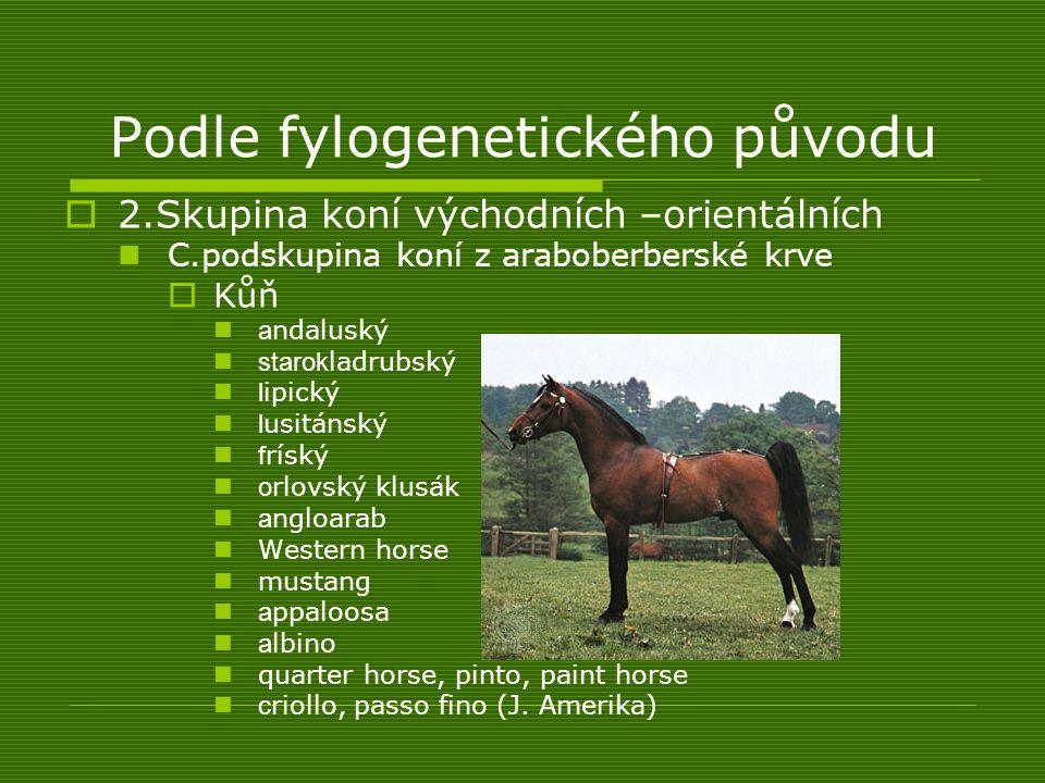 Podle fylogenetického původu  2.Skupina koní východních –orientálních C.podskupina koní z araboberberské krve  Kůň a ndaluský starok ladrubský l ipi