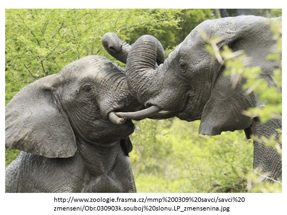 http://www.zoologie.frasma.cz/mmp%200309%20savci/savci%20 zmenseni/Obr.030903k.souboj%20slonu.LP_zmensenina.jpg