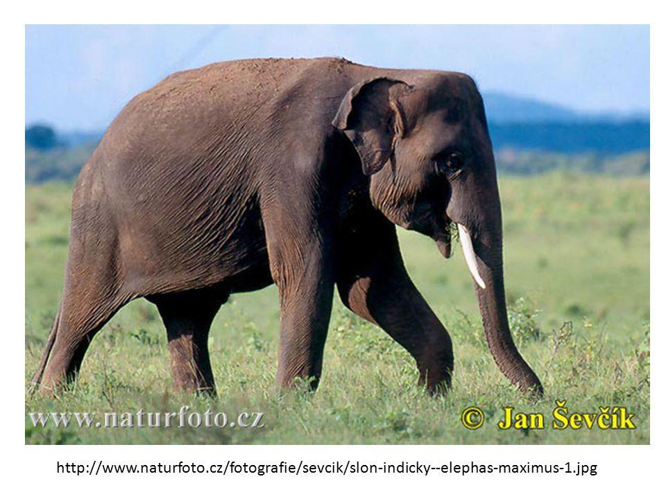 http://www.naturfoto.cz/fotografie/sevcik/slon-indicky--elephas-maximus-1.jpg