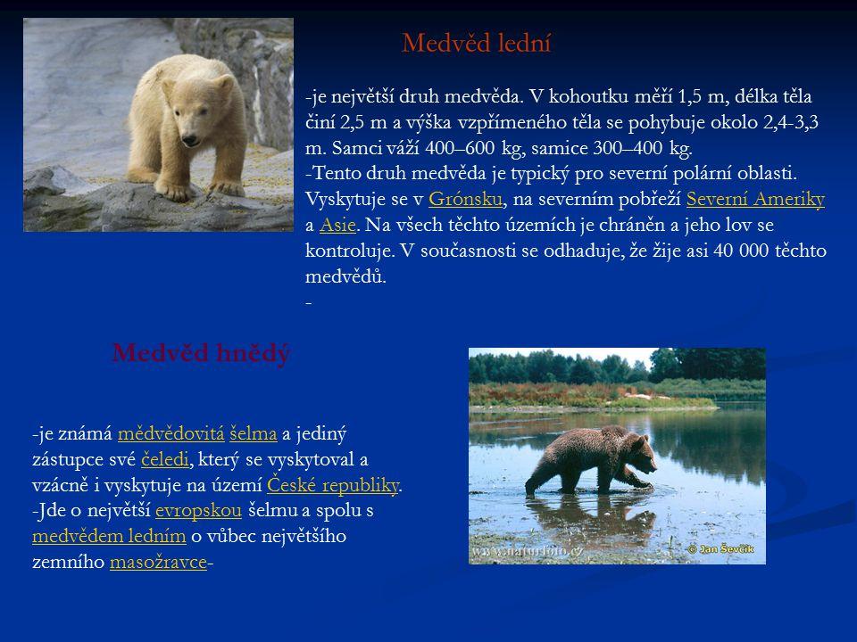 Medvěd lední -je největší druh medvěda.