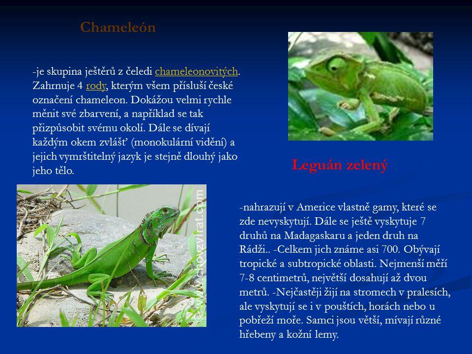 -je skupina ještěrů z čeledi chameleonovitých.