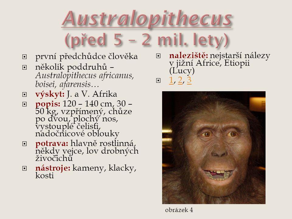  první předchůdce člověka  několik poddruhů – Australopithecus africanus, boisei, afarensis…  výskyt: J. a V. Afrika  popis: 120 – 140 cm, 30 – 50
