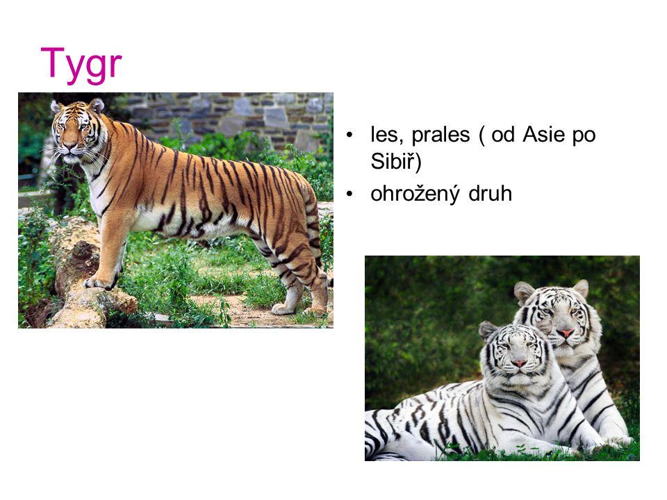 Tygr les, prales ( od Asie po Sibiř) ohrožený druh