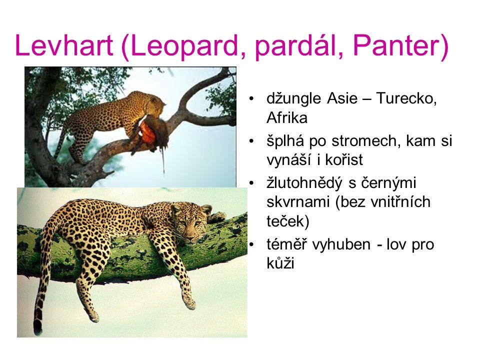 Levhart (Leopard, pardál, Panter) džungle Asie – Turecko, Afrika šplhá po stromech, kam si vynáší i kořist žlutohnědý s černými skvrnami (bez vnitřních teček) téměř vyhuben - lov pro kůži