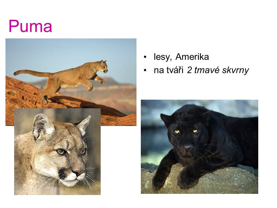 Puma lesy, Amerika na tváři 2 tmavé skvrny Puma - lesy, Amerika - na tváři 2 tmavé skvrny