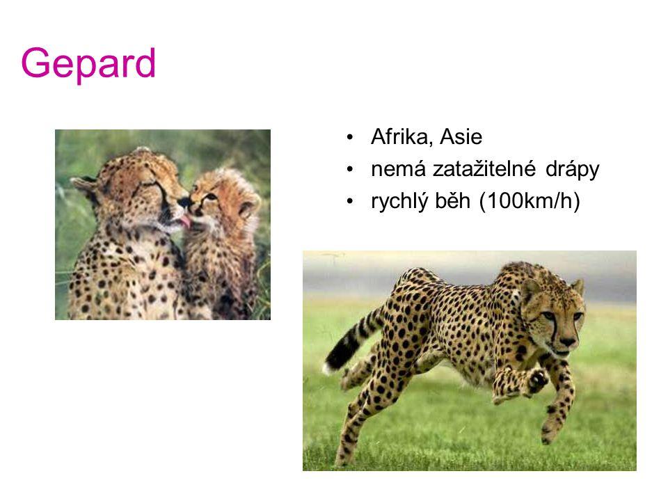 Gepard Afrika, Asie nemá zatažitelné drápy rychlý běh (100km/h)
