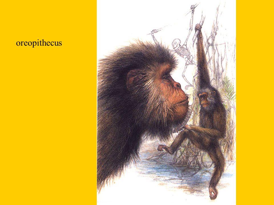 Kotníkochodci - knuckle - walking Střídají několik pohybů : šplhání, zavěšování, zhoupne se, ručkuje na zemi chodí po čtyřech - hmotnost se zčásti přenáší na kotníky prstů má krátké dolní končetiny a delší horní končetiny trup je skloněn šikmo dopředu Zástupce : šimpanz, gorila