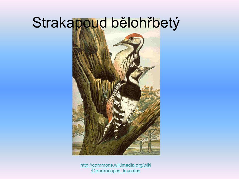 Strakapoud bělohřbetý http://commons.wikimedia.org/wiki /Dendrocopos_leucotos