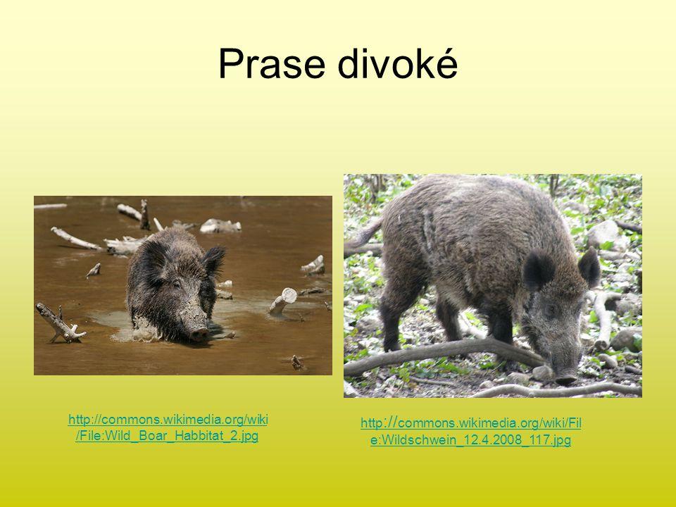Prase divoké http :// commons.wikimedia.org/wiki/Fil e:Wildschwein_12.4.2008_117.jpg http://commons.wikimedia.org/wiki /File:Wild_Boar_Habbitat_2.jpg