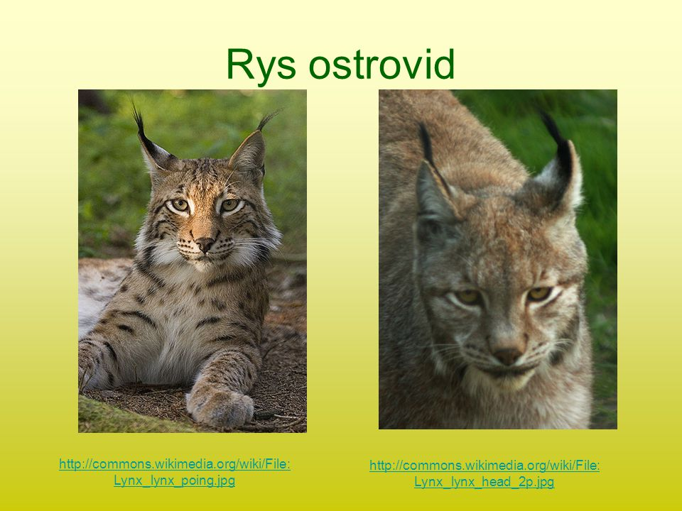Rys ostrovid http://commons.wikimedia.org/wiki/File: Lynx_lynx_poing.jpg http://commons.wikimedia.org/wiki/File: Lynx_lynx_head_2p.jpg