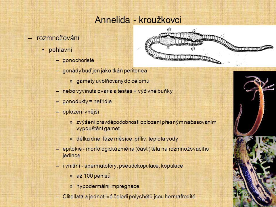 Annelida - kroužkovci –rozmnožování pohlavní –gonochoristé –gonády buď jen jako tkáň peritonea »gamety uvolňovány do celomu –nebo vyvinuta ovaria a te