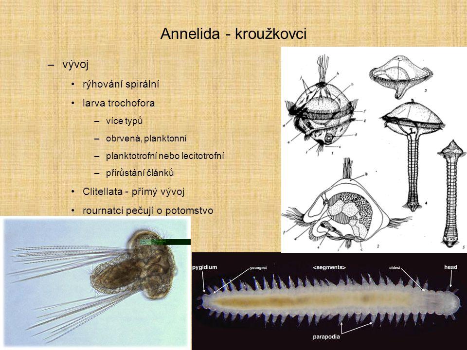 Annelida - kroužkovci –vývoj rýhování spirální larva trochofora –více typů –obrvená, planktonní –planktotrofní nebo lecitotrofní –přirůstání článků Cl