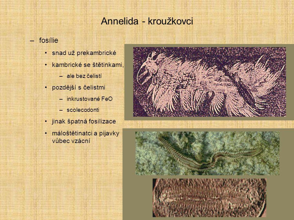 Annelida - kroužkovci –fosílie snad už prekambrické kambrické se štětinkami, –ale bez čelistí pozdější s čelistmi –inkrustované FeO –scolecodonti jina