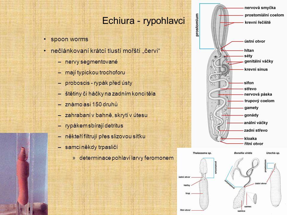 """Echiura - rypohlavci spoon worms nečlánkovaní krátcí tlustí mořští """"červi"""" –nervy segmentované –mají typickou trochoforu –proboscis - rypák před ústy"""